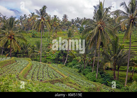 Coconut trees and cabbages grown on terraces on the mountain slopes of the Rinjani volcano on the island Lombok, - Stock Photo