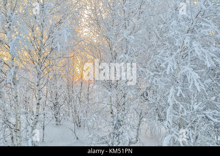 Bright golden sun sets behind a white birch grove hoarfrost covered - delightful beauty of the winter sunset or - Stock Photo