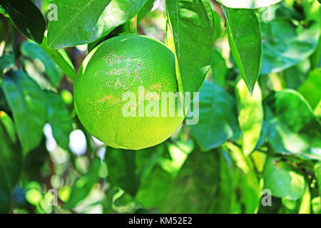 Green orange fruits hanging on tree. Natural background. Citrus. Tropical, exotic fruit - Stock Photo