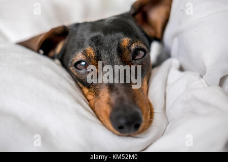 Black and tan miniature dachshund pet dog asleep in bed - Stock Photo
