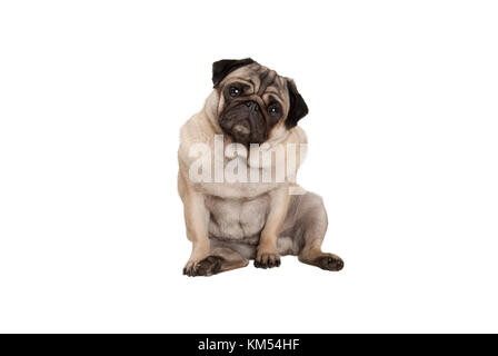 cute smart pug puppy dog with cheecky face, sitting down, isolated on white background - Stock Photo