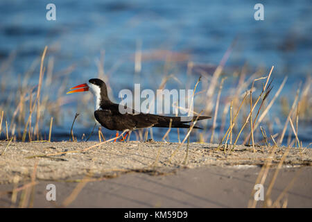 Close up in profile of an African Skimmer bird Rhynchops flavirostris sitting on a river bank in Botswana - Stock Photo