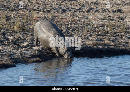 Hippopotamus Hippopotamus amphibius drinking at the waters edge on the river Chobe in Botswana - Stock Photo