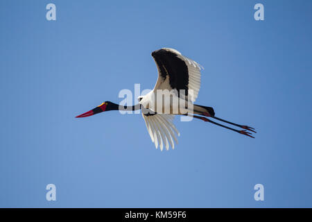 Saddle-billed stork Ephippiorhynchus senegalensis  in flight against a clear blue sky - Stock Photo
