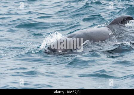 Gewoehnlicher Grindwal,Globicephala melas, Long-Finned Pilot Whale - Stock Photo