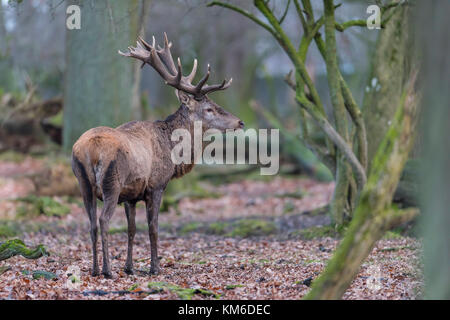 Rothirsch, Cervus elaphus, Red Deer - Stock Photo