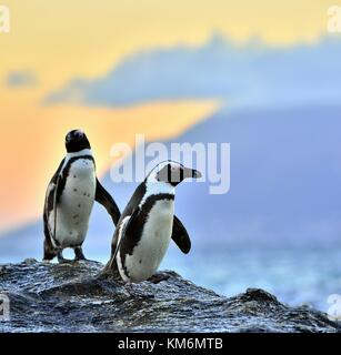 African penguins (spheniscus demersus) The African penguin on the shore in  evening twilight.  Red sunset sky. - Stock Photo