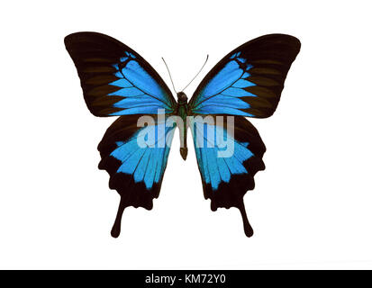 Beautiful exotic colorful Papilio Ulysses butterfly isolated on white background - Stock Photo