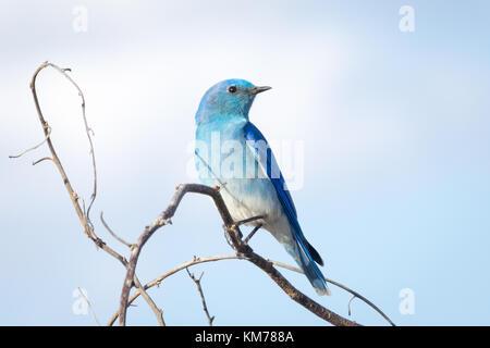 A male Mountain bluebird (Sialia currucoides), in breeding plumage, perched near Tofield, Alberta, Canada. - Stock Photo