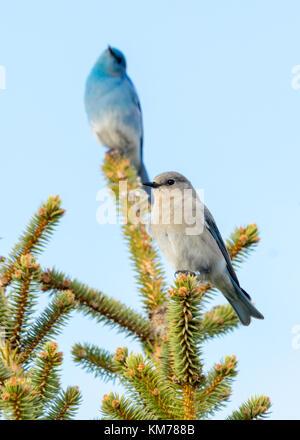 A breeding pair of Mountain bluebirds (Sialia currucoides), with selective focus on the female bird.  Near Tofield, - Stock Photo