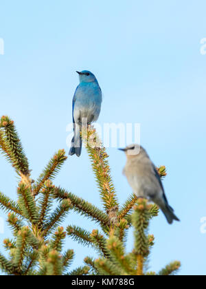 A breeding pair of Mountain bluebirds (Sialia currucoides), with selective focus on the male bird.  Near Tofield, - Stock Photo