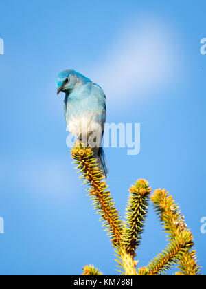 A male Mountain bluebird (Sialia currucoides), in breeding plumage, perched near Tofield, Alberta, Canada. - Stock Photo