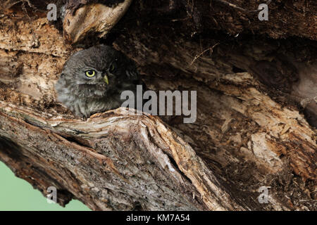 Little Owl ( Athene noctua ), young adolescent, fledged, hiding over day in an old willow tree, well camouflaged, - Stock Photo