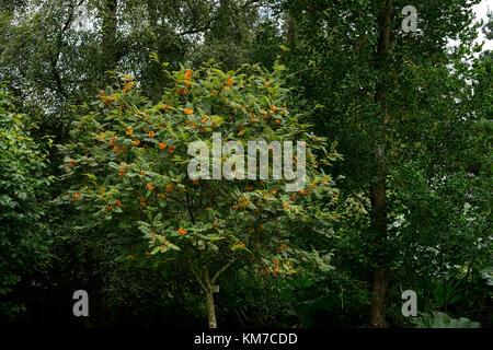 sorbus aucuparia fructu luteo, yellow, berries, mountain ash, ashes, rowan tree, trees, ornamental ,RM Floral - Stock Photo