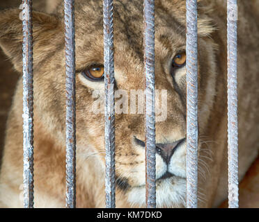 lion in the zoo behind the fence - Stock Photo