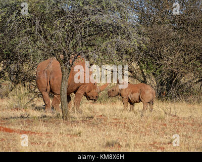 A White Rhinoceros mother and calf in Southern African savanna - Stock Photo