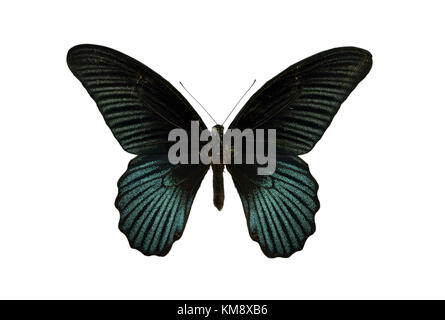 Beautiful exotic colorful Papilio Memnon butterfly isolated on white background - Stock Photo