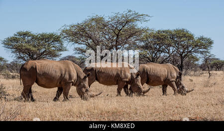 A group of White Rhinoceros in Southern African savanna - Stock Photo