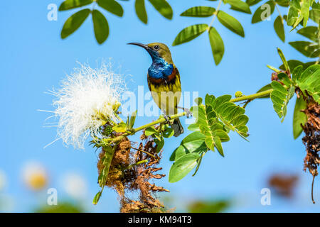 Male Olive-backed sunbird holding on branch - Stock Photo