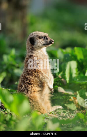 A meerkat standing upright and looking alert - Stock Photo