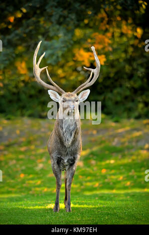 Beautiful image of red deer - Stock Photo