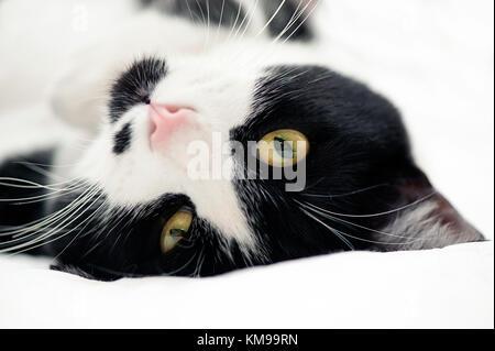 Portrait of tuxedo cat - Stock Photo