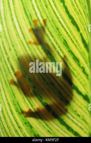 Shadow of a javan tree frog sitting on a leaf - Stock Photo