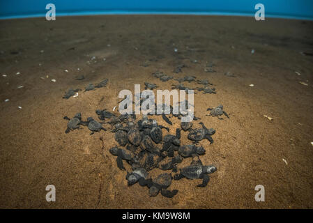 A newly hatched/ born olive ridley sea turtles coming out the pit and heading towards sea. - Stock Photo