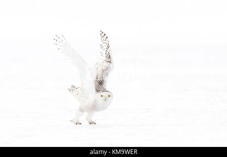 Snowy owl (Bubo scandiacus) hunting over a snow covered field in Canada - Stock Photo