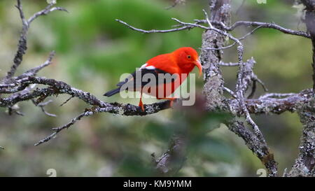 Native Bird Of Big Island That Feeds On Ohia Tree