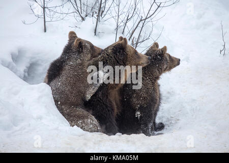 Female and two one-year-old brown bear cubs (Ursus arctos arctos) leaving den in the snow in early spring - Stock Photo