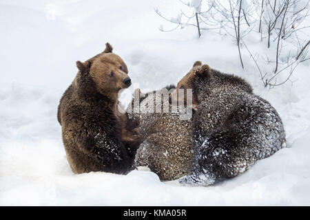 Female brown bear suckling two 1-year-old cubs (Ursus arctos arctos) in the snow in winter - Stock Photo