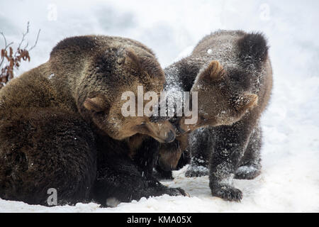 Female playing with one-year-old brown bear cub (Ursus arctos arctos) in the snow in winter - Stock Photo