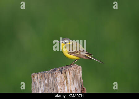 Western yellow wagtail (Motacilla flava), male perched on wooden fence post - Stock Photo