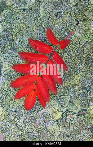 Rowan / mountain-ash (Sorbus aucuparia) fallen leaf in red autumn colours on rock covered in lichen - Stock Photo