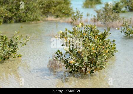 Grey mangrove (lat.: Avicennia marina) - Stock Photo