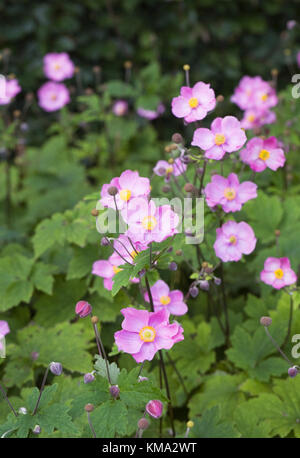 Anemone hupehensis 'Bowles Pink'. Japanese anemones growing in an herbaceous border. - Stock Photo