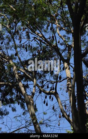 Peradeniya  Kandy Central Province Sri Lanka Peradeniya Royal Botanical Gardens Colony of Fruit Bats In Trees - Stock Photo