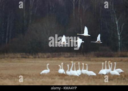 Migrating Whooper Swans (Cygnus cygnus) in autumn, Estonia. - Stock Photo