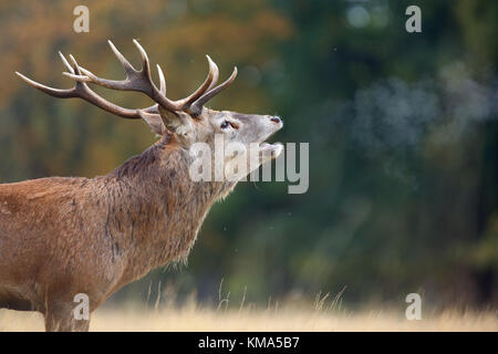 Red Deer (Cervus elaphus) stag, roaring during rut with breath condensing in cold air, Richmond Park, Richmond Upon - Stock Photo