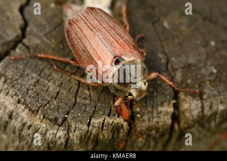 Adult cockchafer (melolontha beetle)