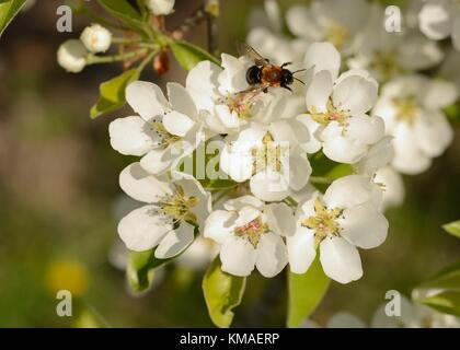 Bee pollinating wild pear (lat.: Pyrus communis) blossom in Spring - Stock Photo