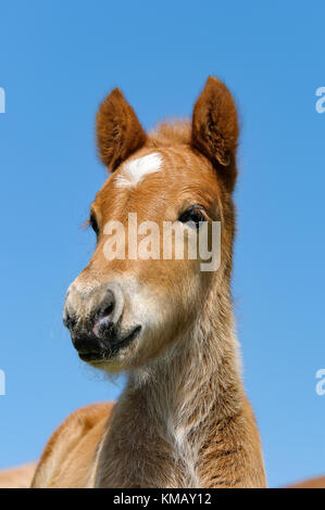 A young chestnut colored icelandic pony foal head with a white star marking, portrait in front of blue sky. - Stock Photo