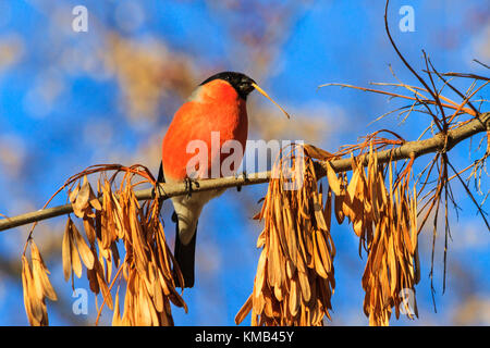 bullfinch on the branch eating maple seed , wildlife, winter period - Stock Photo