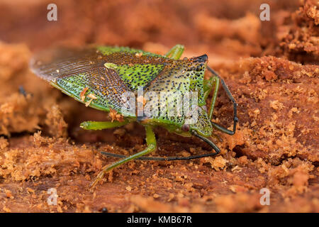 Hawthorn Shieldbug (Acanthosoma haemorrhoidale) hibernating in rotten wood in a tree stump in woodland. Cahir, Tipperary, - Stock Photo