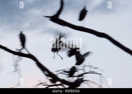 White Storks flying into to a bare tree to roost, late evening silhouetted and backlit, with motion blur.Laikipia,Kenya, - Stock Photo