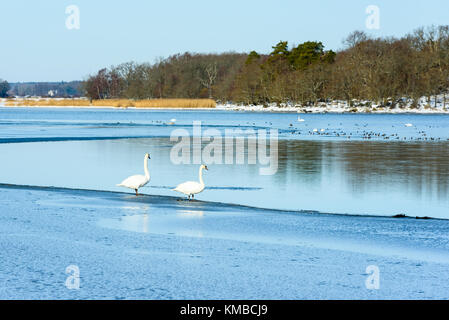 Two mute swans (Cygnus olor) at the thin edge of frozen sea ice in lovely winter landscape. Location Hjortahammar - Stock Photo