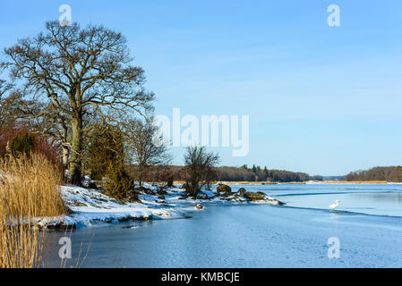 Coastal landscape in winter with large oak tree on the shore and a mute swan standing on ice edge in the sea. Location - Stock Photo