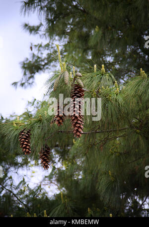 Large Pine Cones hanging on a Tree branch - Stock Photo