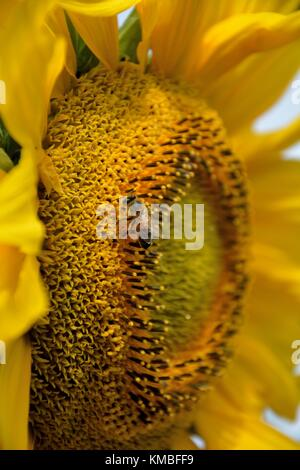 Closeup of a bee pollinating a sunflower (lat.: Helianthus annuus) - Stock Photo